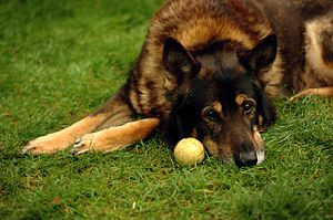 300px-German_shepherd_wanting_to_play